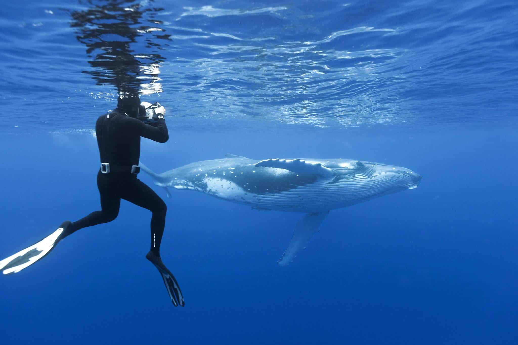whales watching swiming vavau