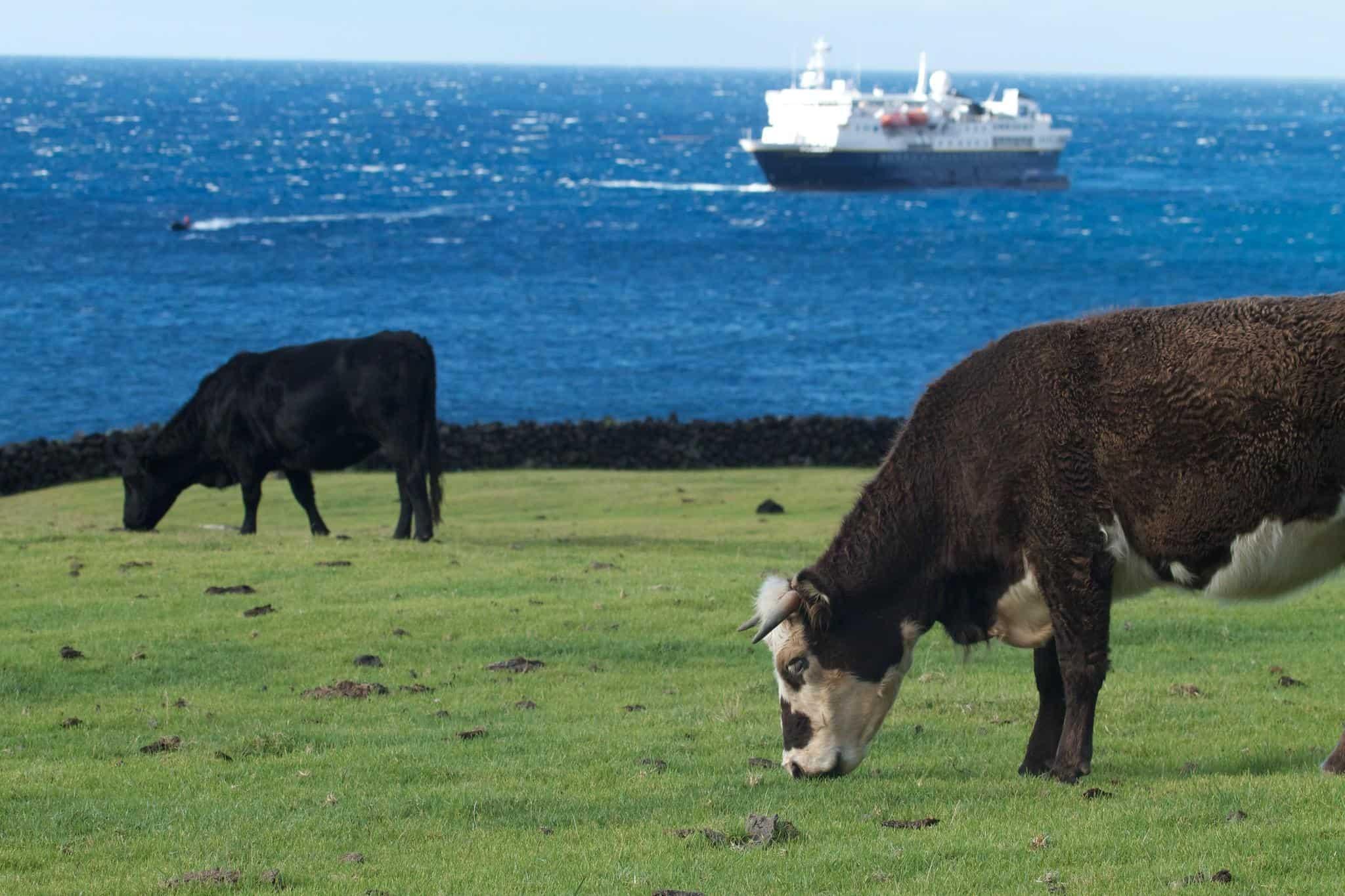 tristan da cunha cows