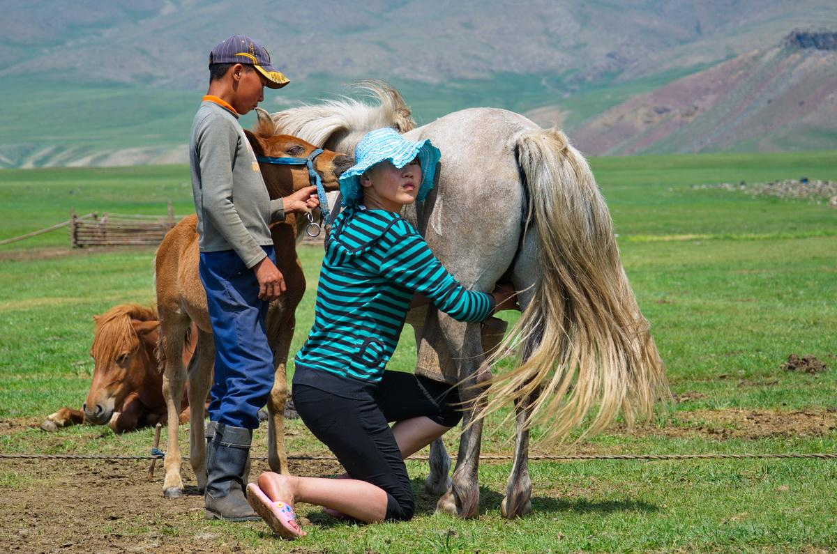 mongolia mare milking