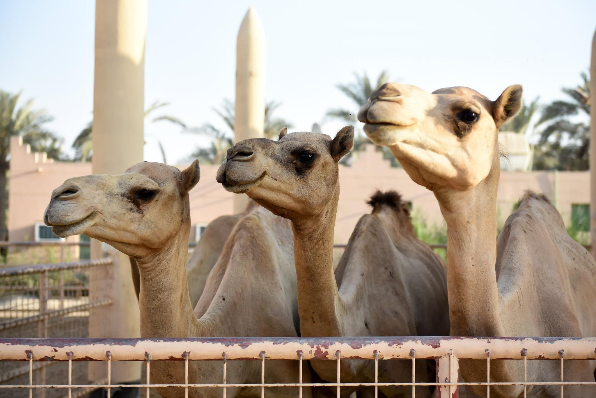manama bahrain royal camel farm camels