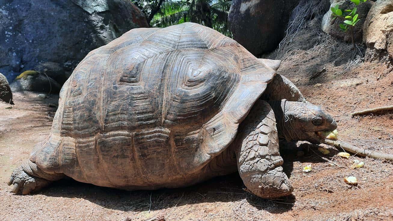 moyenne island seychelles tortoise eating