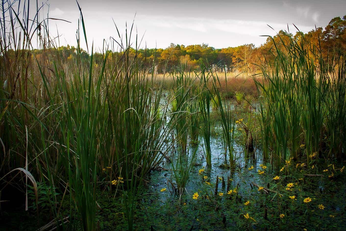 north carolina usa mattamuskeet national wildlife refuge reed banks