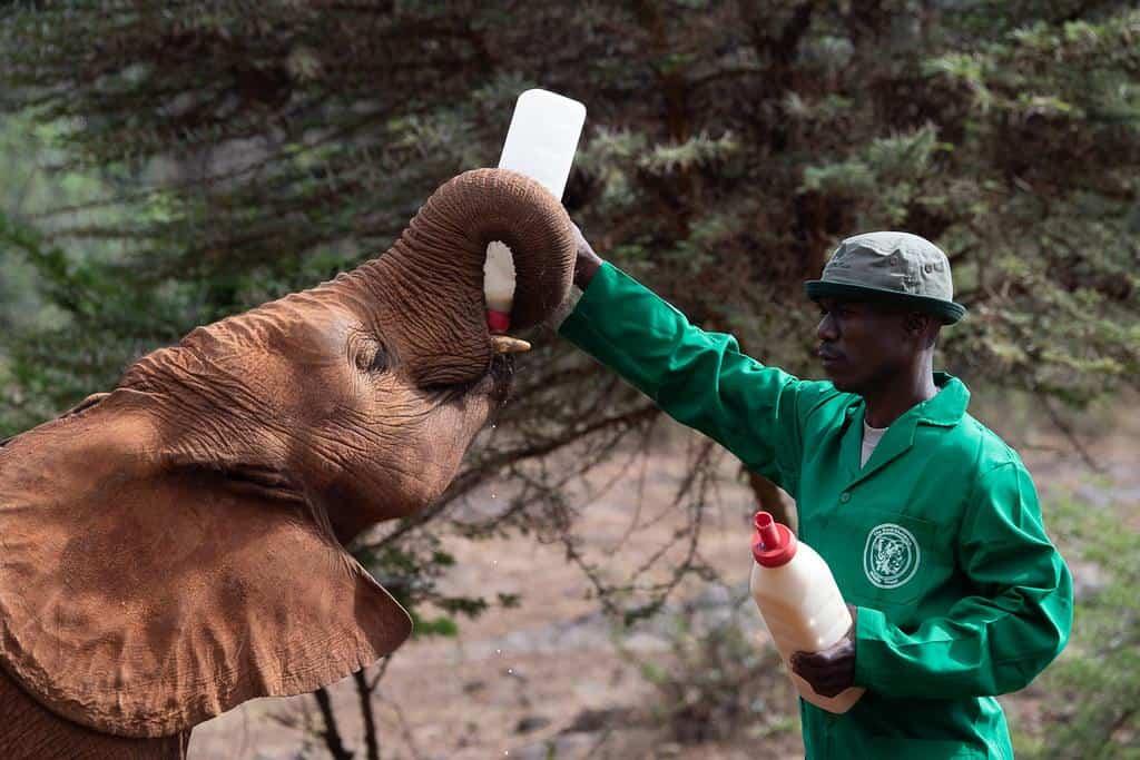 nairobi kenya .sheldrick elephant rhino orphanage